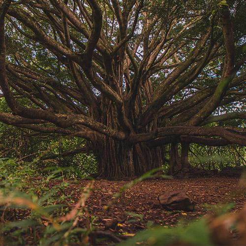 Nguyên lý cây đại thụ để phát triển sự nghiệp bền vững
